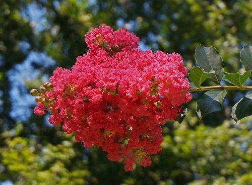 crepe myrtle blossoms crepe myrtle flower