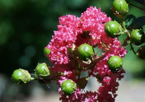 crepe myrtle with seed pods crepe myrtle flower