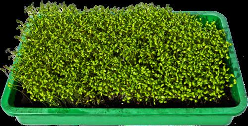 cress seedlings herbs