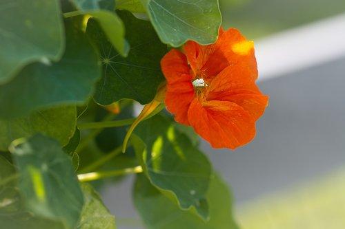 cress  nasturtium  edible
