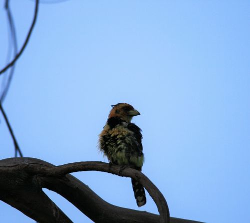 crested barbet bird colorful