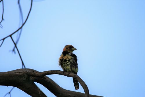 Crested Barbet On Branch