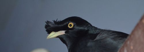 Crested Black Myna