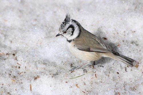 crested tit  bird  animal