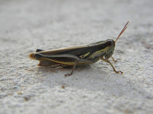 cricket insect antennas