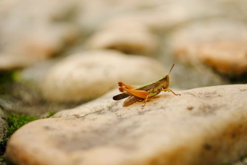 cricket insect grasshopper