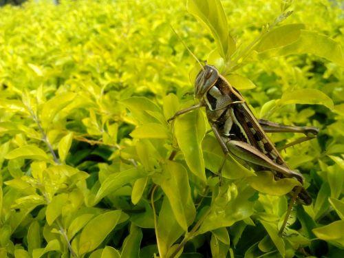 cricket grasshopper nature