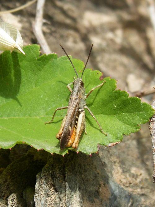 cricket summer cricket of abdomen yellow