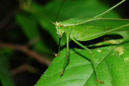 cricket grasshopper locust