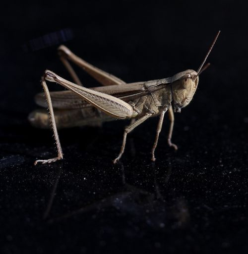 cricket insecta reflection