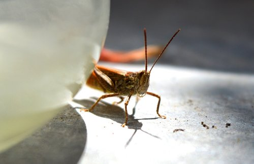 cricket  grasshopper  insect