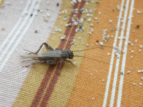 cricket insect sand
