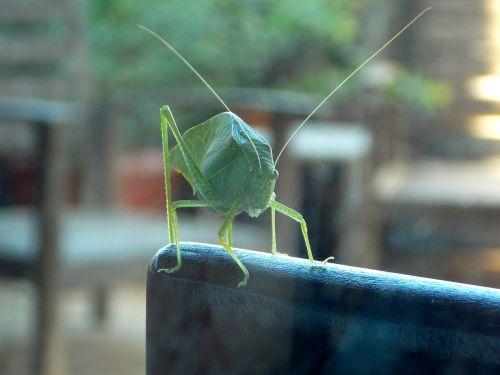 cricket katydid grasshopper