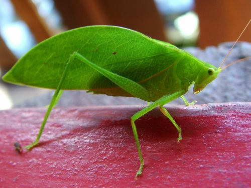 cricket insect green
