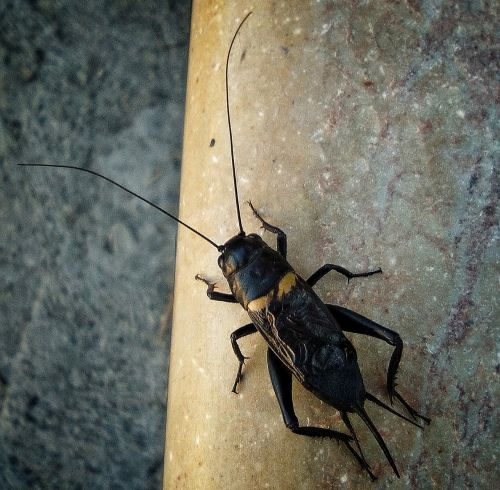 cricket insect singing cricket