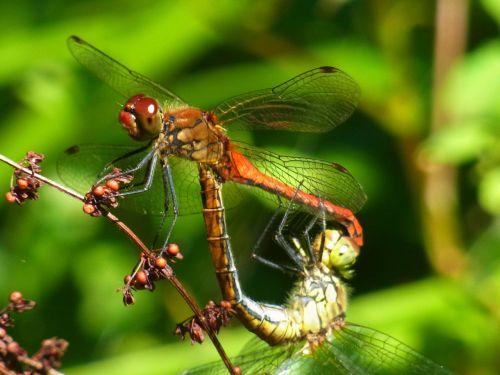 crimson heidelibelle sympetrum sanguineum dragonfly