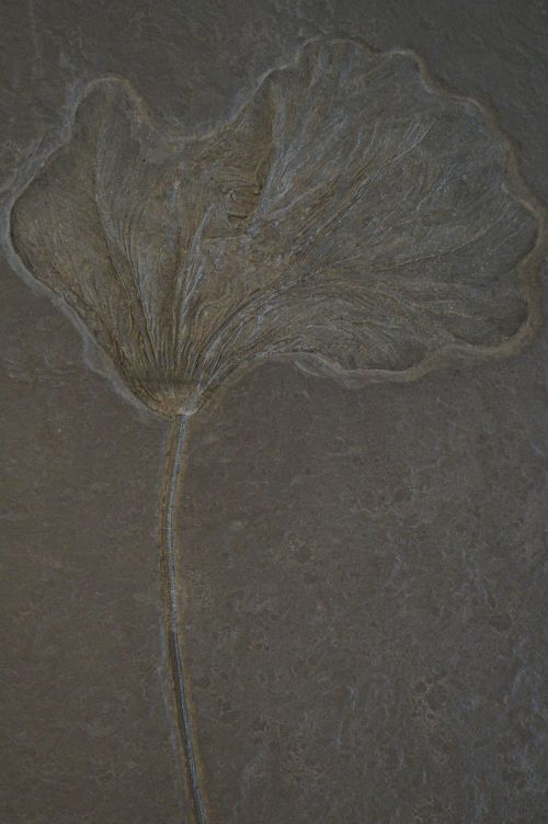 crinoid fossil fossilized