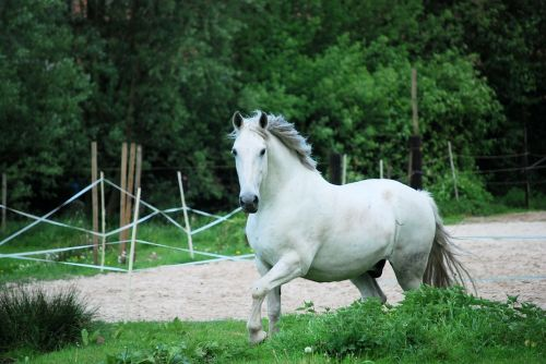 criollo horse white