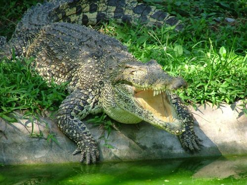 crocodile,animals,reptile,predator,nature,young crocodile,fauna,animal