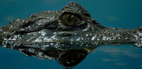 crocodile water dangerous