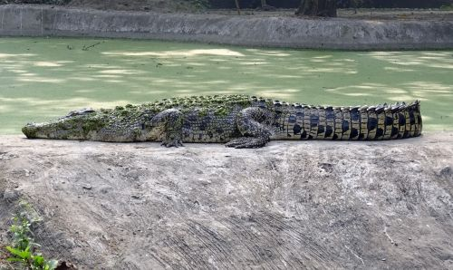 crocodile saltwater estuarine