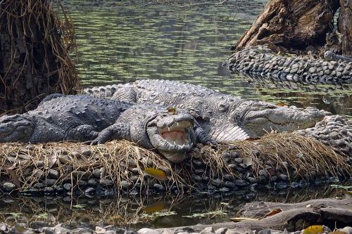 crocodile marsh crocodile mugger