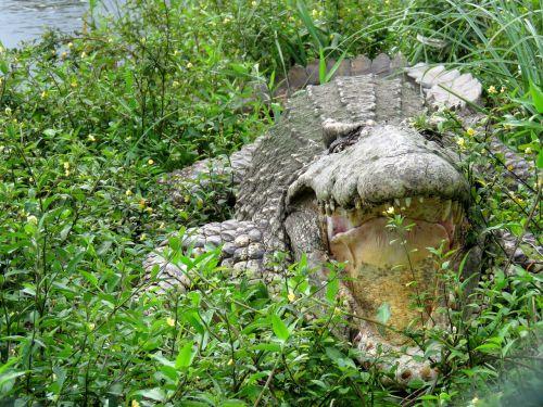 crocodile gad cuba
