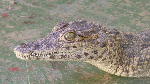 alligator crocodile young