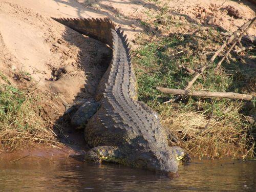 crocodile botswana africa