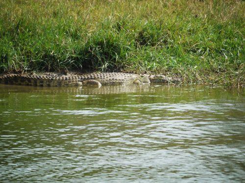 crocodile on the lurking uganda