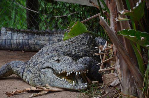crocodile wild animal dangerous