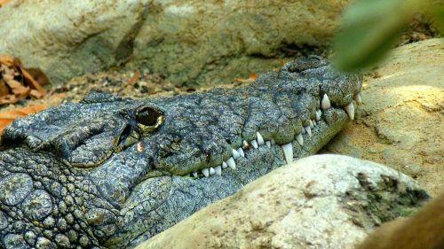 crocodile lizard predator