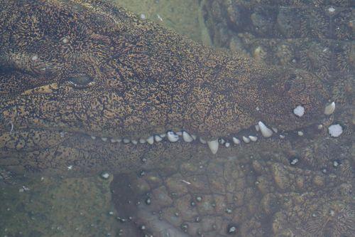 crocodile alligator zoo