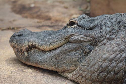 crocodile danger predator