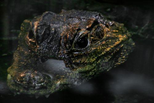 crocodile reptile alligator