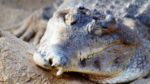crocodile zoo wild