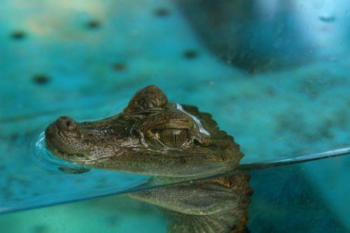 crocodile cub crocodile aquarium