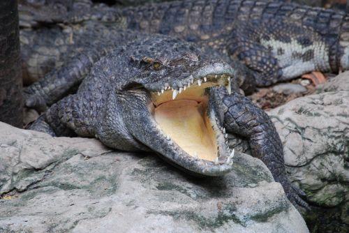 crocodile zoo mouth