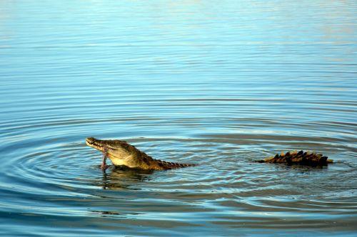 crocodile tanzania savannah