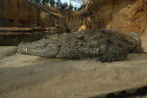 crocodile  predator  zoo