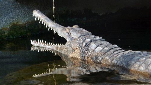 crocodile  alligator  predator