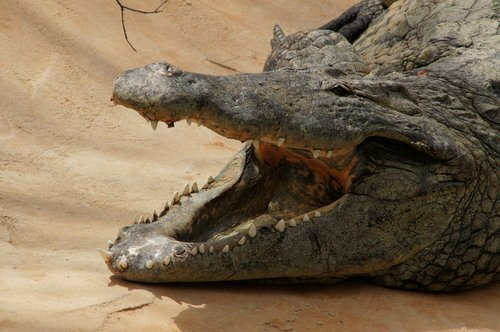 crocodile  animal  reptile