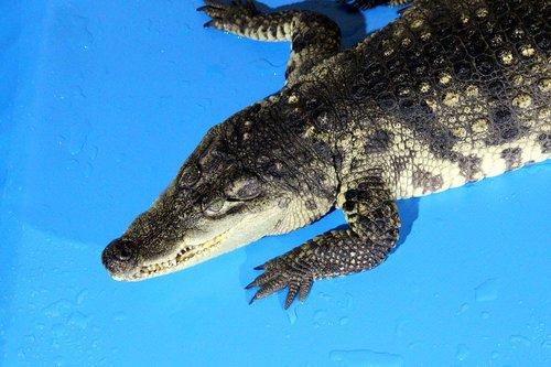 crocodile  nile crocodile  crocodylus niloticus