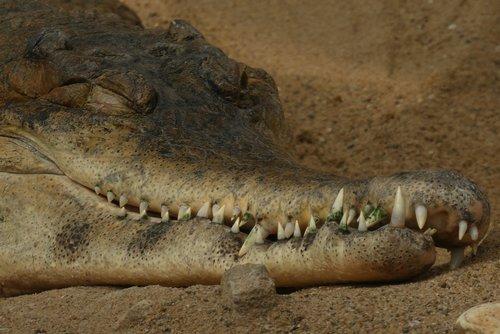 crocodile  babu  zoo