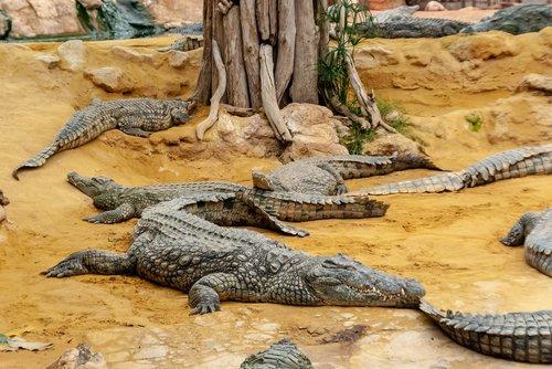 crocodile  reptile  tortie