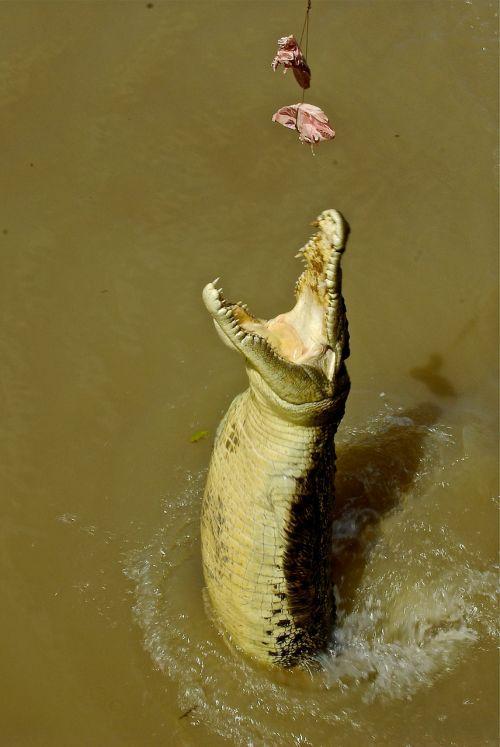crocodile maneater alligator