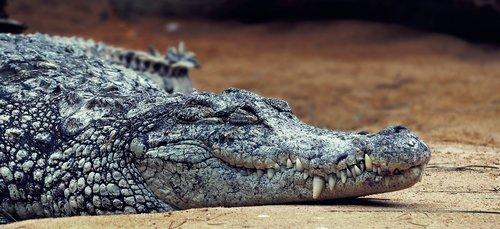 crocodile  amniotic terrestrial vertebrates  carnivores