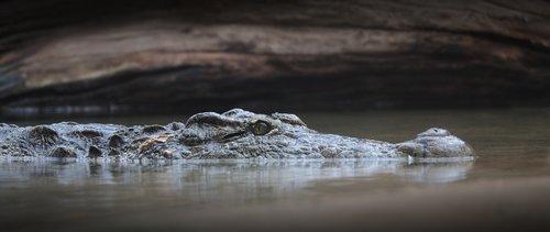 crocodile  alligator  reptile