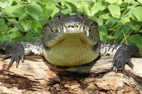 crocodile  risk  reptile
