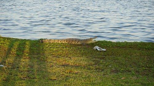 crocodile  laguna  nature